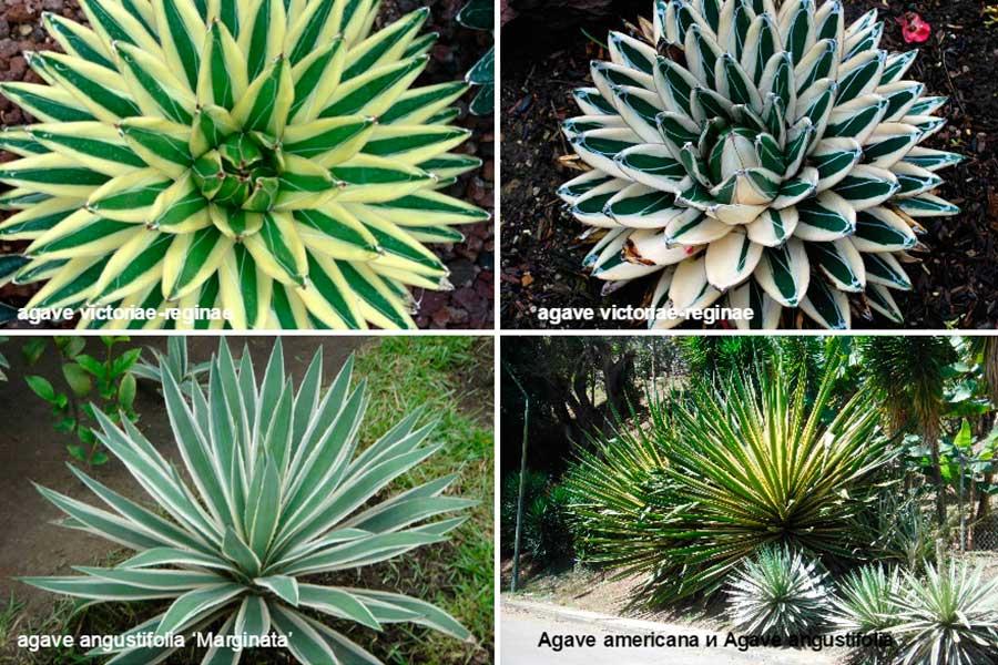 Агава (agave) – краткая характеристика