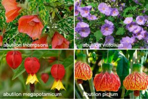 Абутилон (abutilon) - описание, особенности выращивания