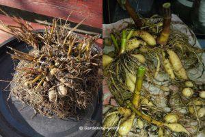 Как выкопать георгины и подготовить к хранению