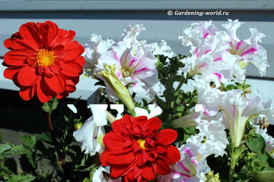 Как сохранить георгины в горшке с осени до весны