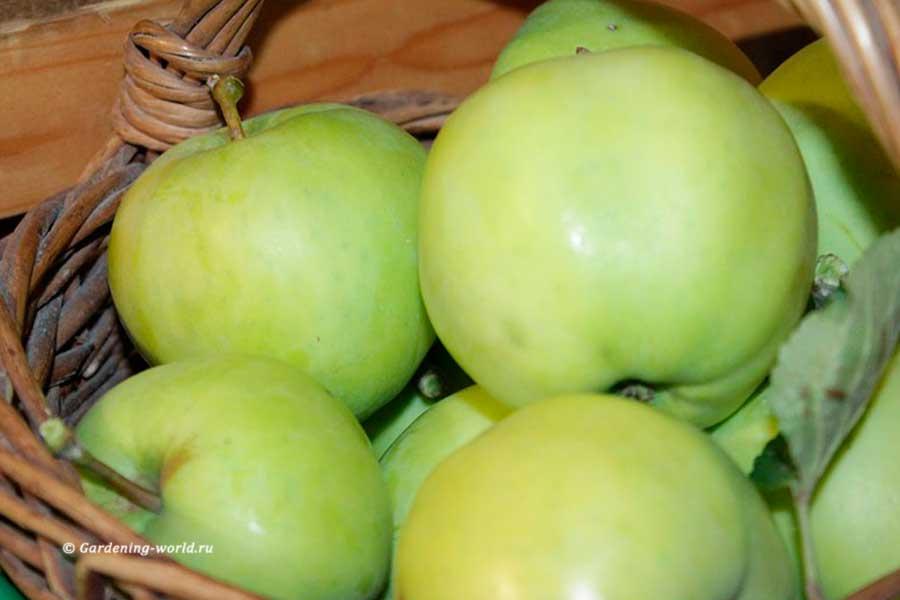 Когда собирать яблоки Белый налив