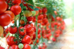 Три правила, как вырастить здоровые томаты