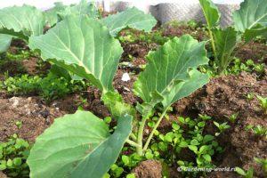 Выращивание капусты за 5 шагов