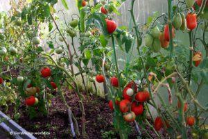 Как сажать помидоры в теплице - 6 правил