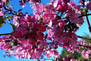 Посадка и уход за райской яблоней