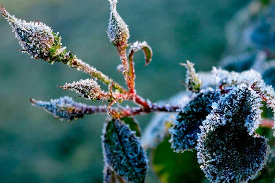 Укрытие корней розы на зиму