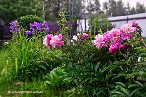 Правила создания цветника, цветник с пионами