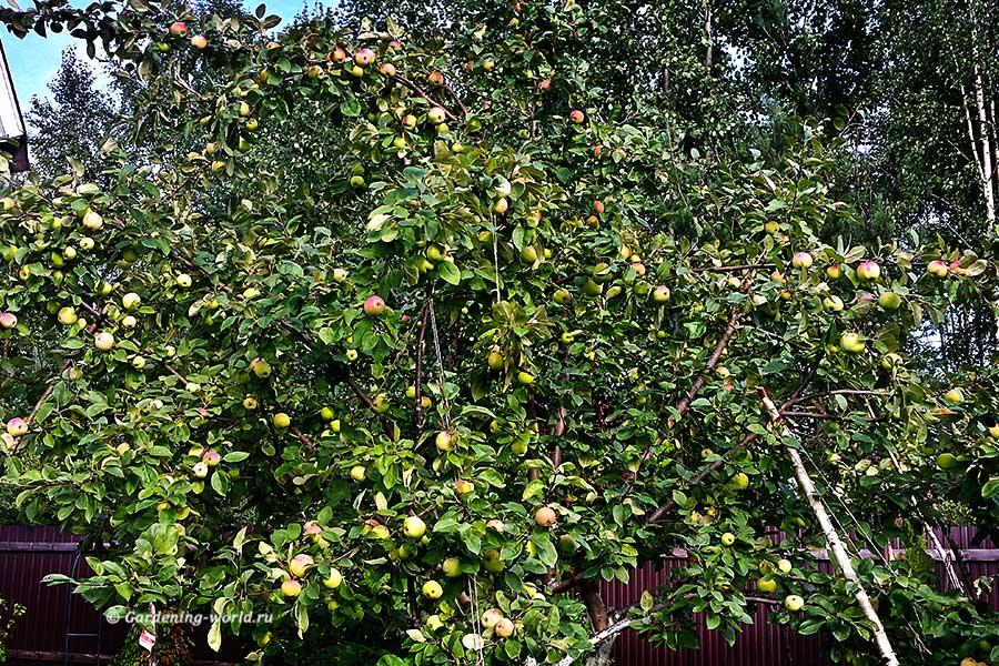 Эффективная подкормка яблонь осенью