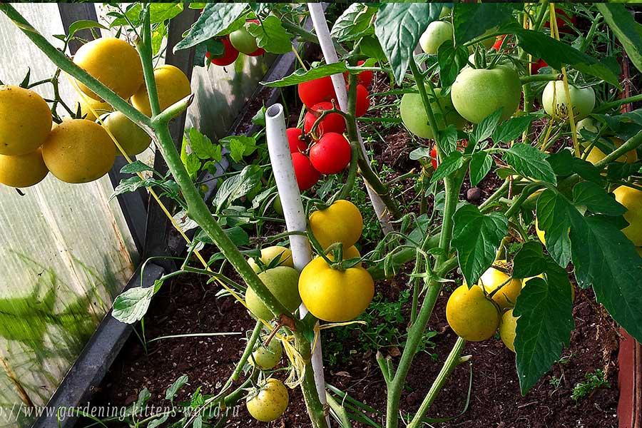 Формирование томатов, детерминантный куст
