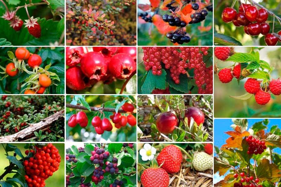 Плодово-ягодные культуры сада с целебными свойствами
