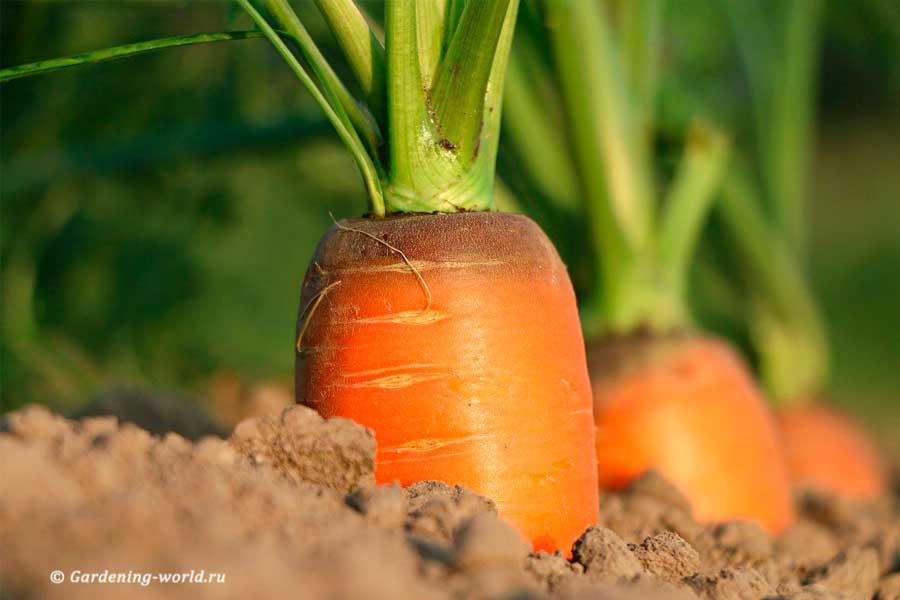 7 секретов успешного выращивания моркови