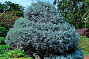 хвойные растения и можжевельник весной