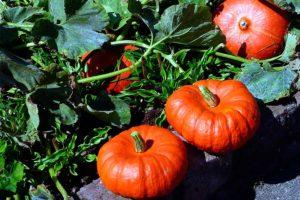 Выращивание тыквы, если для нее нет грядки