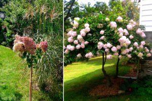 Как из гортензии сформировать дерево