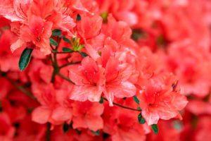 Красивоцветущие ароматные кустарники