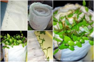 Посадка семян петрушки в пеленкиПосадка семян петрушки в пеленки