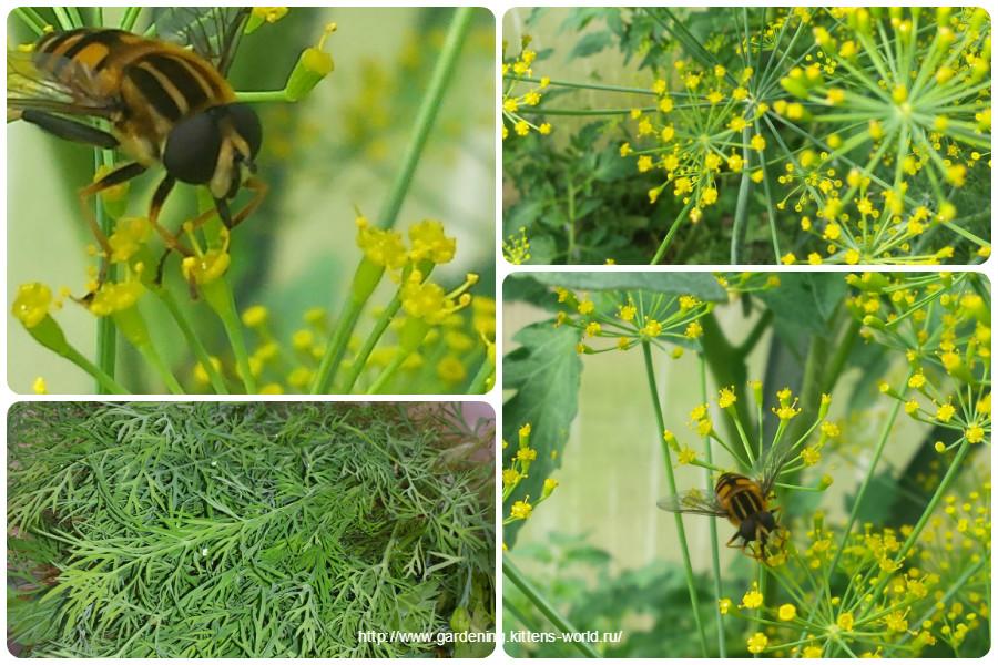 Укроп — полный огород! О посадке, пользе и важности укропа на огороде