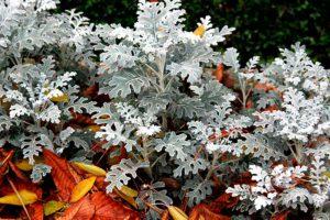 Цинерария-описание,особенности выращивания