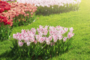 Высадка тюльпанов на газон