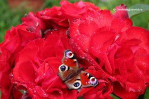 Черенкование роз в домашних условиях без грязи