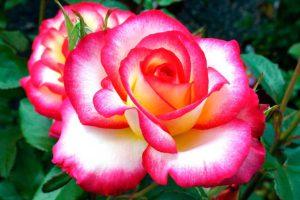 Черенкование роз по методу буррито