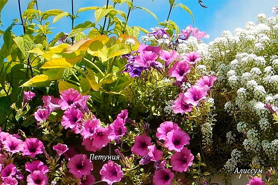 Цветы на балконе какие сажать и правила ухода