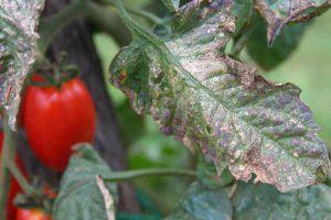 Фитофтора на помидорах, разбор ошибок