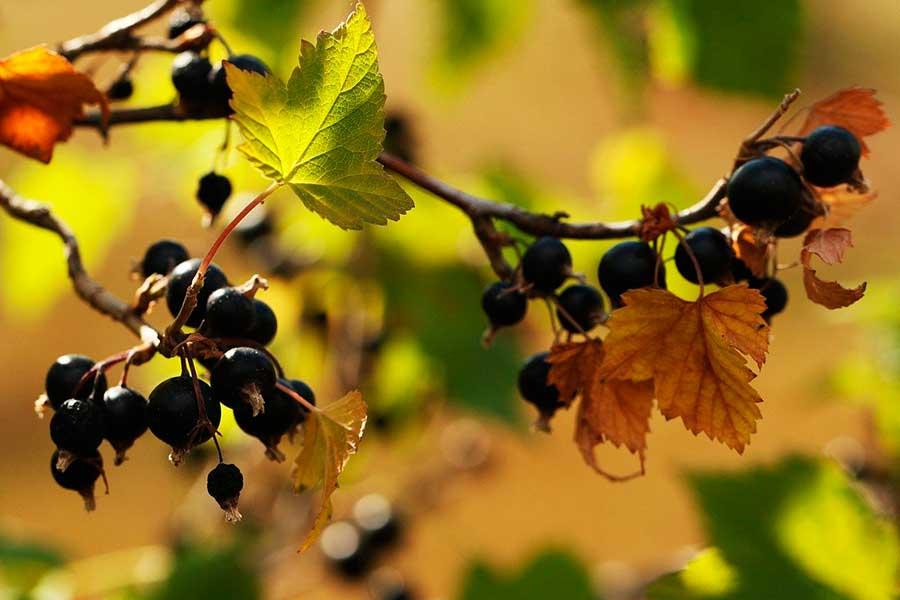 Черенкование смородины осенью
