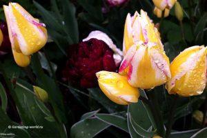 Тюльпаны отцвели, что делать дальше