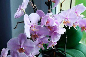 Орхидея Фаленопсис - основные правила ухода