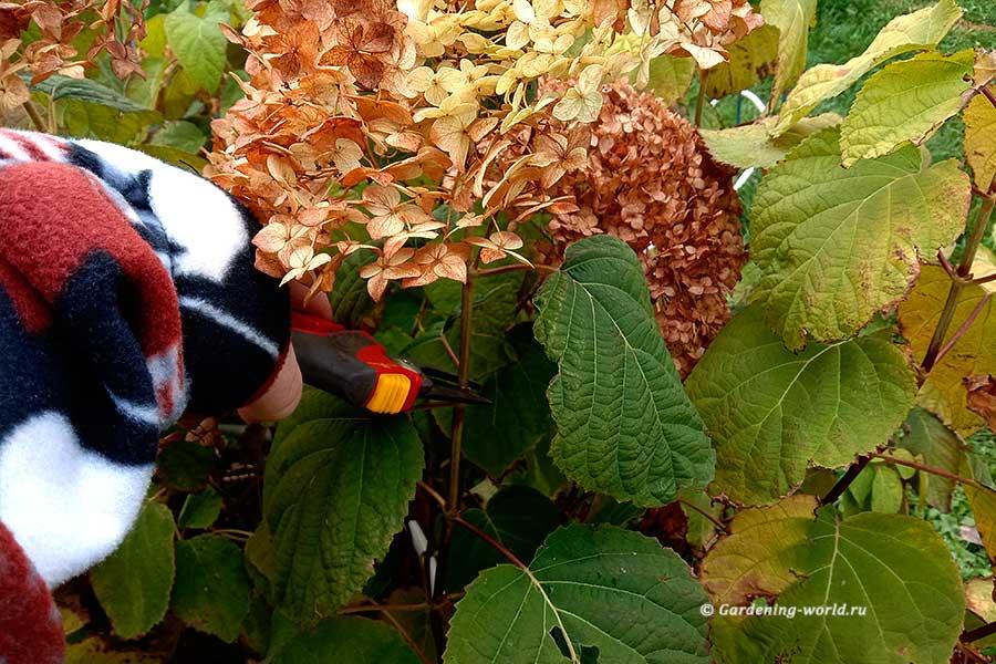 Обрезка гортензии осенью или весной