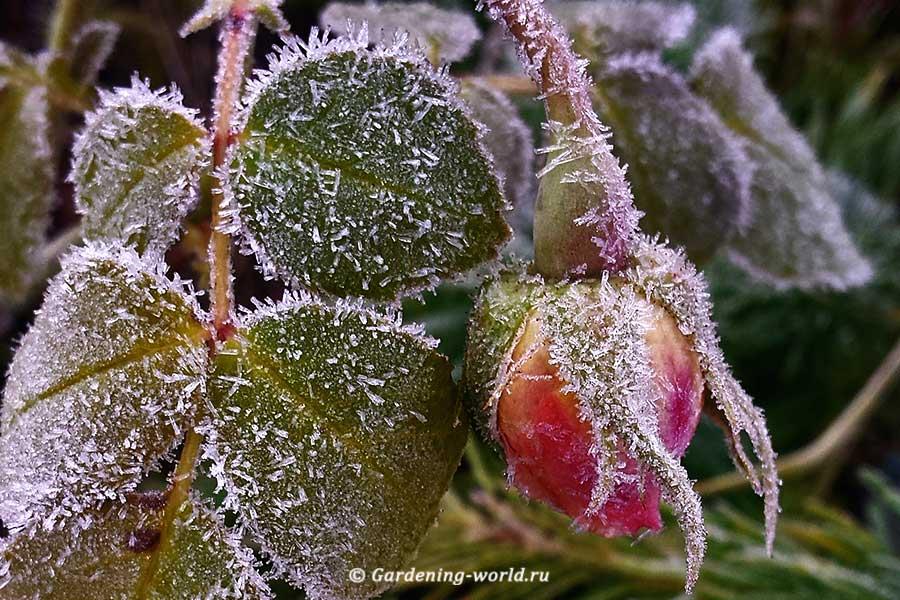 Как укрыть плетистую розу, обрезка на зиму