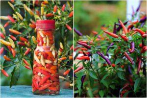 Выращивание острого декоративного перца на подоконнике