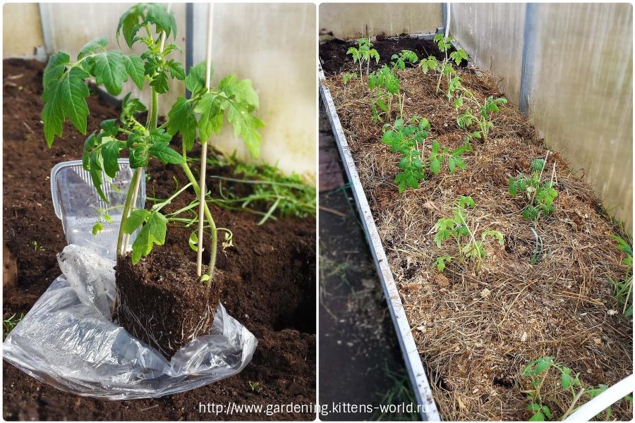 рассады томатов из полиэтилена в теплицу