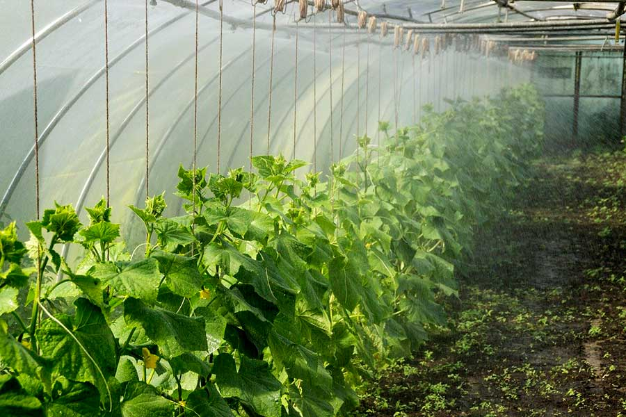 Выращивание огурцов в теплице, чтобы получить лучший урожай