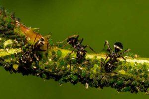 Ещё одно средство от муравьев, доступное и эффективное