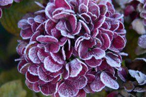 Зимостойкая гортензия — краткие характеристики