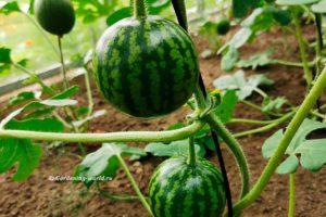 Как вырастить арбуз в теплице