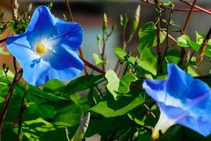 Как вырастить ипомею из семян