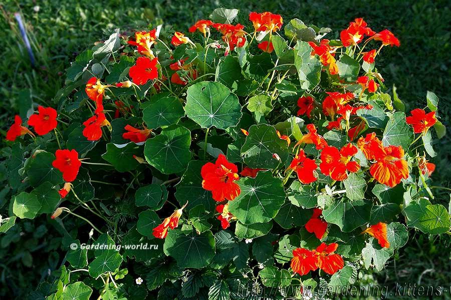 Как выращивать настурцию из семян