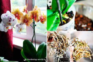 Как пересаживать орхидею и когда это лучше сделать