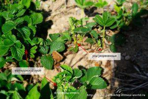 Как размножить клубнику усами без пересадки