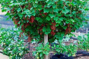 Как сделать из красной смородины дерево