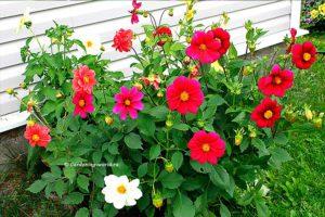 Как сеять летние георгины