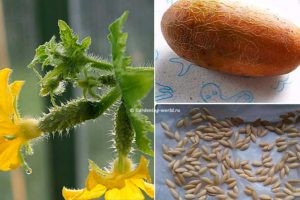Как собрать семена огурцов и сохранить их