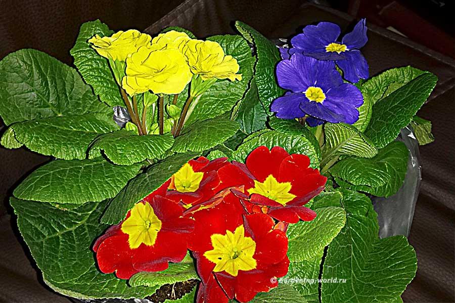 Как сохранить цветущую примулу, купленную зимой до высадки в сад весной