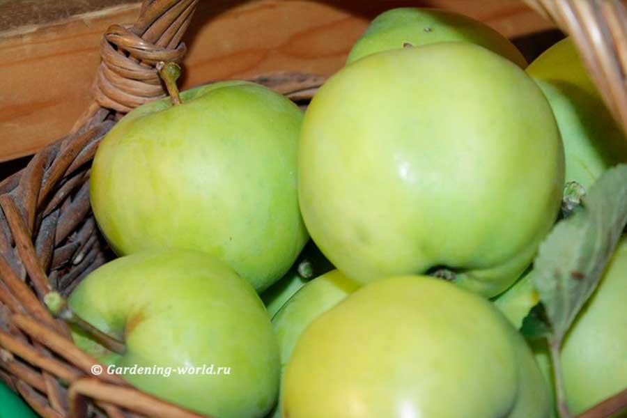 Когда собирать яблоки, в частности, белый налив