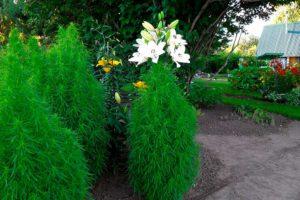 Кохия - выращивание из семян, уход