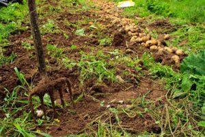 Можно ли в компост класть ботву томатов и картофеля