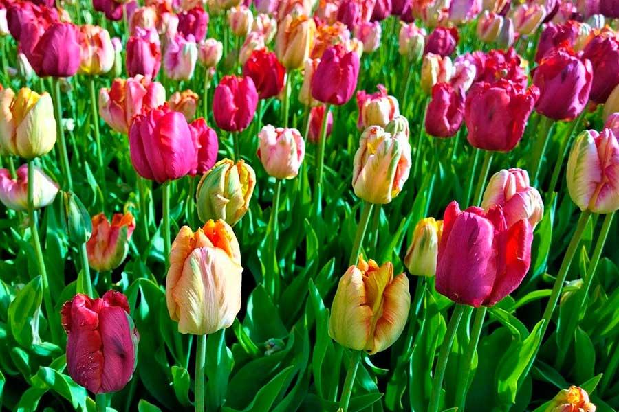 Можно ли сажать тюльпаны весной
